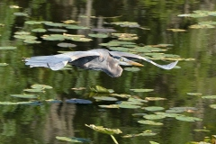 C Gt.-Blue-Heron-Reflection