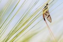 1st Mayfly