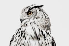 C Owl-Posing