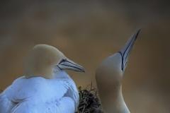 C Perching-Gannets