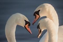 2nd Three Swans