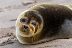 The Golden Seal - Bill Swan