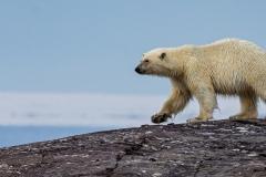 Polar Bear Stuart Ward