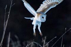 Barn Owl Pounce Stuart Ward