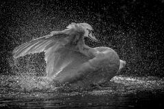 BATHING-SWAN-107