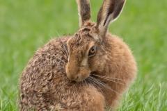 hare- Suzanne Lamb
