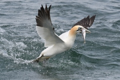 Gannet Lift Off -  Alistair Peterson